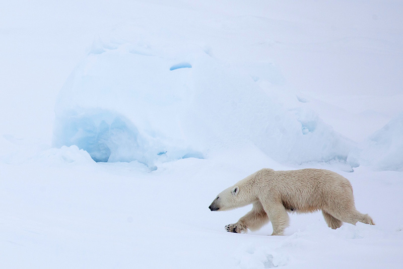 Polar Bear by Samantha Crimmin