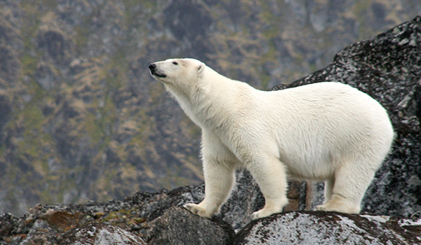 Biologists estimate there are about 25,000 polar bears the world over. This one was photographed by a Quark passenger in Spitsbergen.