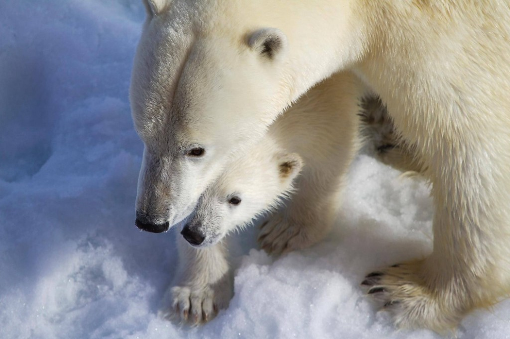 An Arctic polar bear and its cub as photographed by a Quark Expeditions passenger.