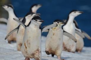 Chinstrap-Penguins.jpeg