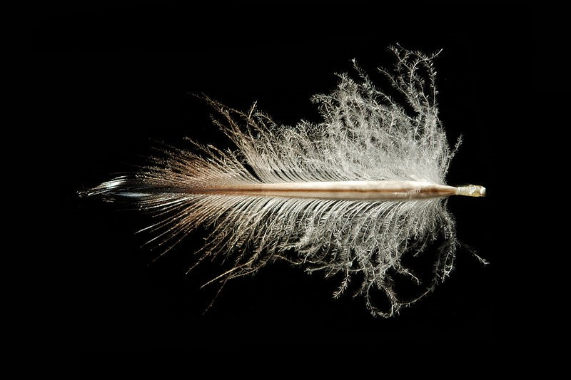 Rockhopper penguin feather - image credit: Featherfolio