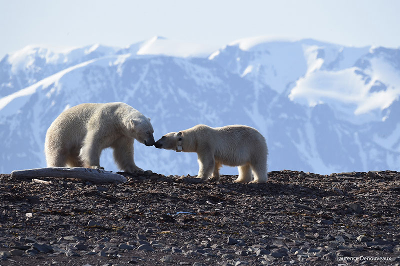 Polar bears in Svalbard touch noses in this photograph captured by a Quark Expeditions passenger.
