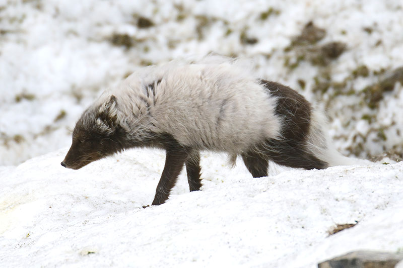 An Arctic fox prowls the tundra.