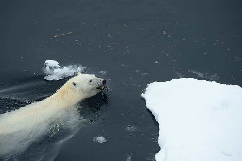Wildlife in the Arctic