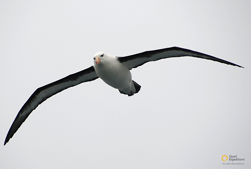 Albatross in flight - Photo credit: Ian Robertson