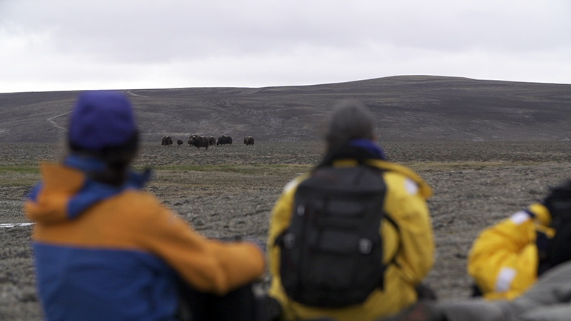 Guests park their ATVs on the Canadian High Arctic tundra and quietly observe a herd of muskox grazing.