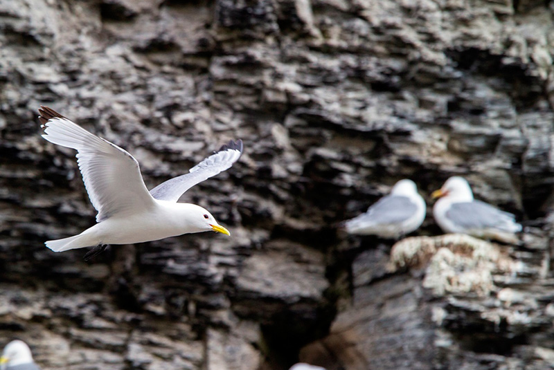 black-legged kittiwakes, Cambridge Point