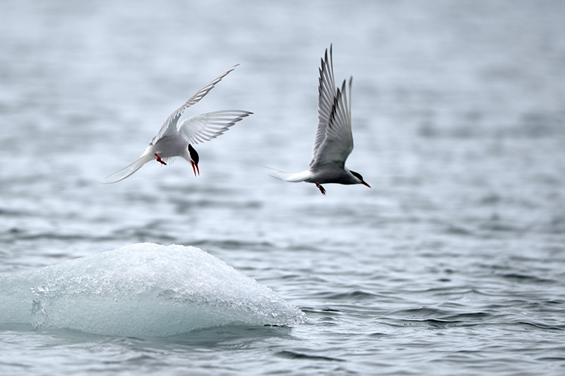 Arctic Terns - by Stephen Dean
