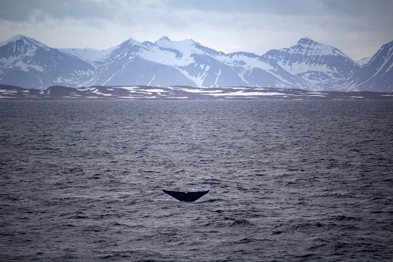 Blue Whale spotted in Svalbard. Photo credit: Caroline Kerrigan