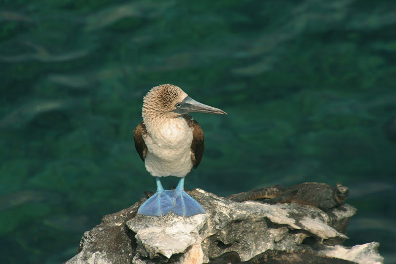 Blue-footed Booby - Photo credit: Ecuador's Ministry of Tourism