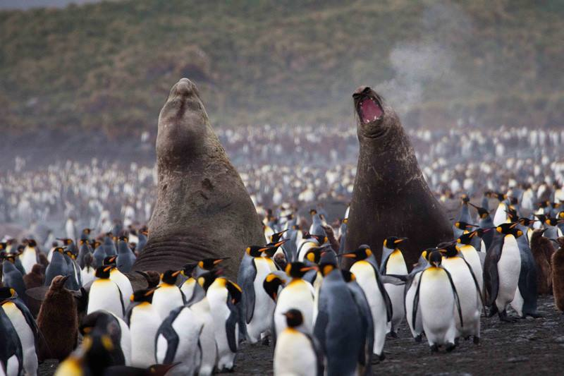 Elephant seals roaring in South Georgia. Photo credit: Mark Tatchell