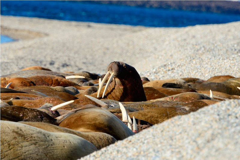 Walrus haul out at Torellneset - Photo credit: Findlay