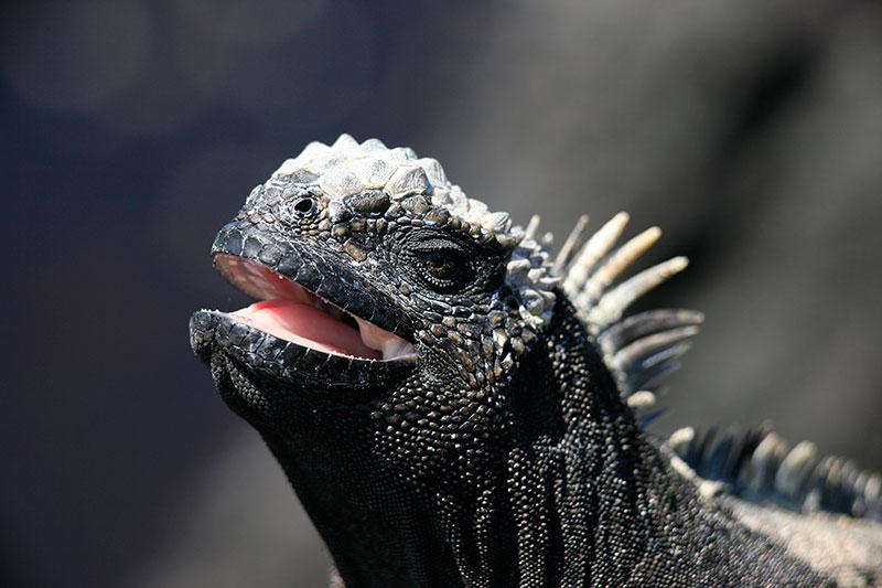 Iguana in the Galapagos - Photo credit: Quasar