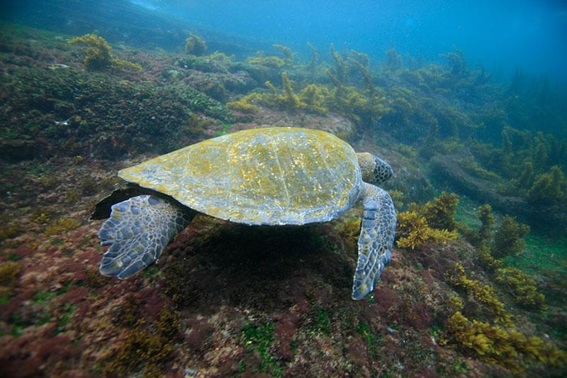 Sea turtle in the Galapagos - Photo credit: Quasar