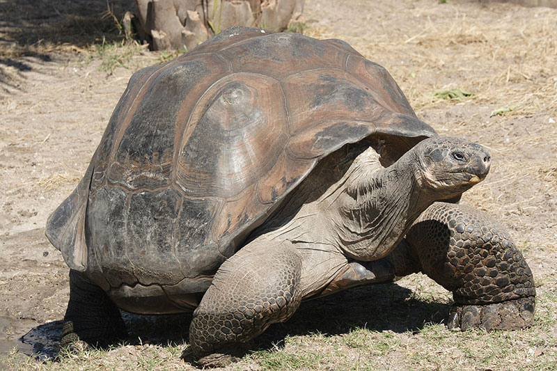 """""""Galapagos giant tortoise Geochelone elephantopus"""" by Mfield, Matthew Field, http://www.photography.mattfield.com - Own work. Licensed under CC BY-SA 3.0 via Commons - https://commons.wikimedia.org/wiki/File:Galapagos_giant_tortoise_Geochelone_elephantopus.jpg#/media/File:Galapagos_giant_tortoise_Geochelone_elephantopus.jpg"""