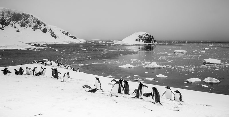 Penguins in black and white. Photo credit: Samantha Crimmin