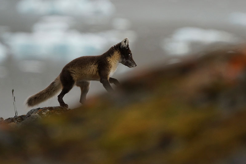 Arctic Fox - Photo Credit: Graham McKane