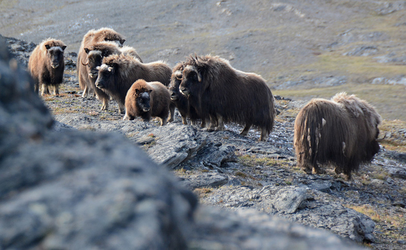 You might see muskoxen in Alpefjord, a part of the Segelsällskapets between the Vikingebrae and the Gully Glacier, is also within the stunning Northeast Greenland National Park.