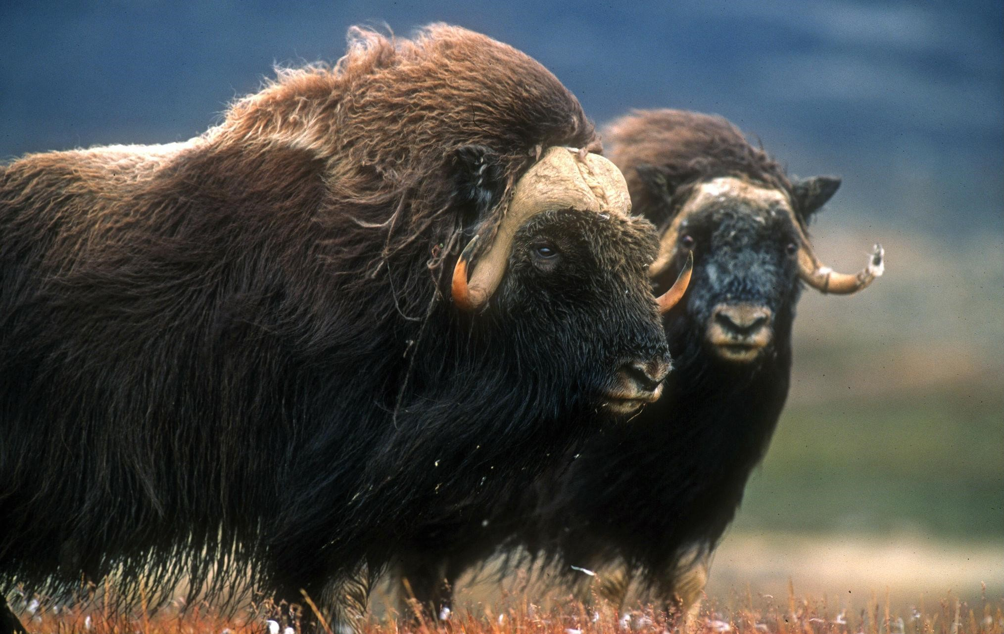Photo: A pair of musk oxen in summer. Photo credit: Visit Greenland