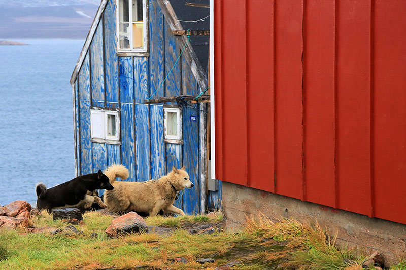 Greenland dogs in Ittoqqortoormiit. Photo credit: Yukun Shih