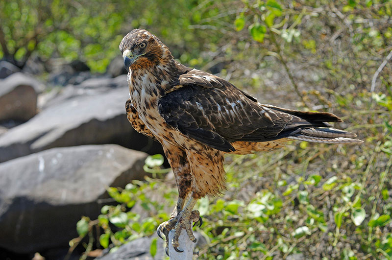 Galapagos Hawk - Photo credit: Chris Hornaman