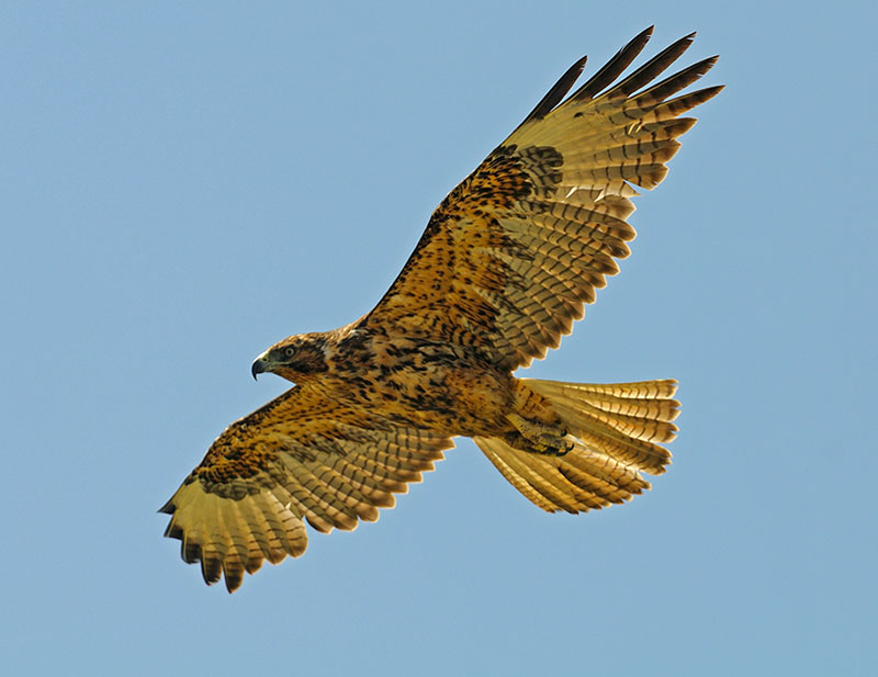 Galapagos Hawk in flight- Photo credit: Chris Hornaman