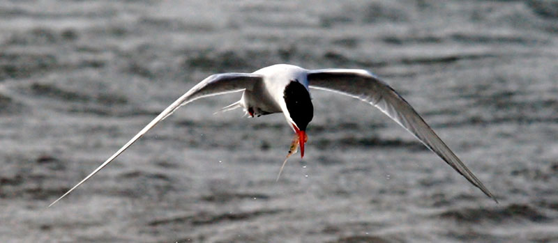 Antarctic Tern with krill