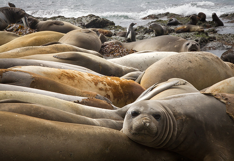 Elephant Seal harem