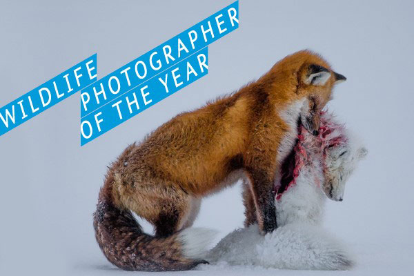 A tale of two foxes- Photo credit: Don Gutoski
