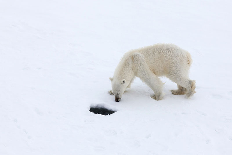 Polar Bear - Credit: Samantha Crimmin