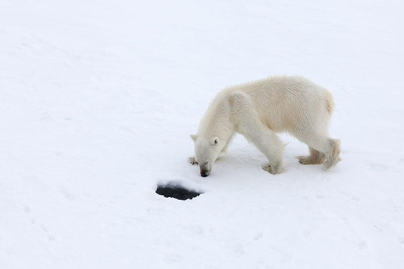 Polar Bear - Credit: Samantha Crimmin