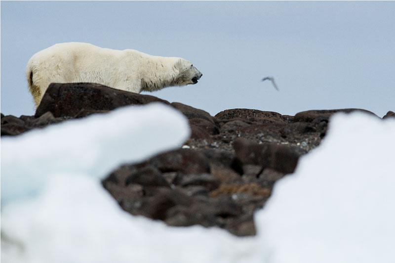 blog_spitsbergen_bear.jpg