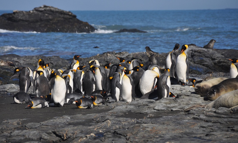 king penguins gather at St. Andrew's Bay, South Georgia