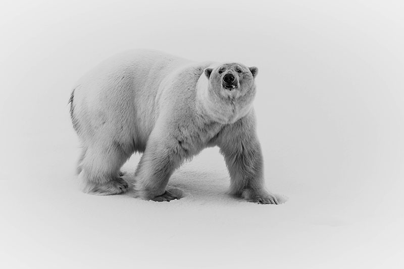 Polar Bear - Photo credit: Samantha Crimmin