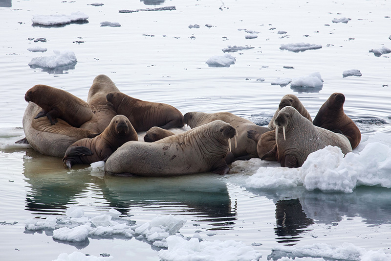 Cluster of walrus - Franz Joseph Land - by Samantha Crimmin