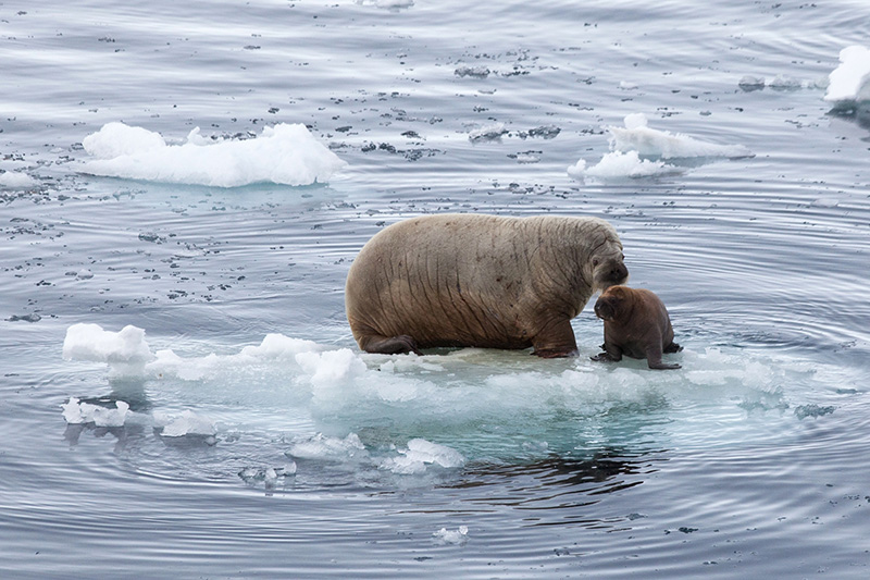 Female walrus and calf -  Franz Joseph Land - by Samantha Crimmin