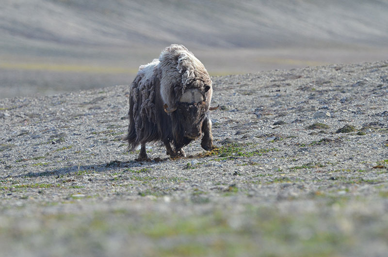 Musk Ox at Arctic Watch. Photo credit: Thomas Schafenacker