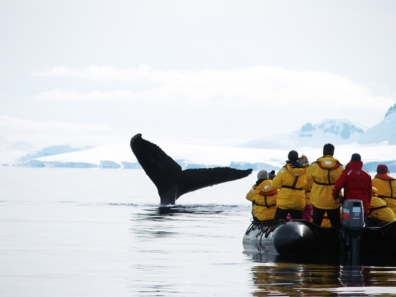 Zodiac cruisers offer Arctic expedition passengers the opportunity to get up close and personal with wildlife, like this whale.