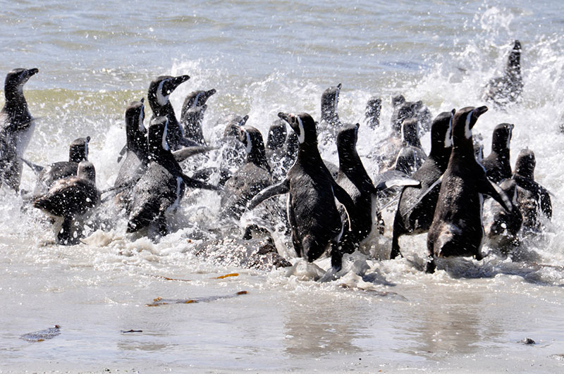 Magellanic penguins at Carcass Island