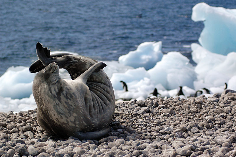 Seal yoga in Antarctica