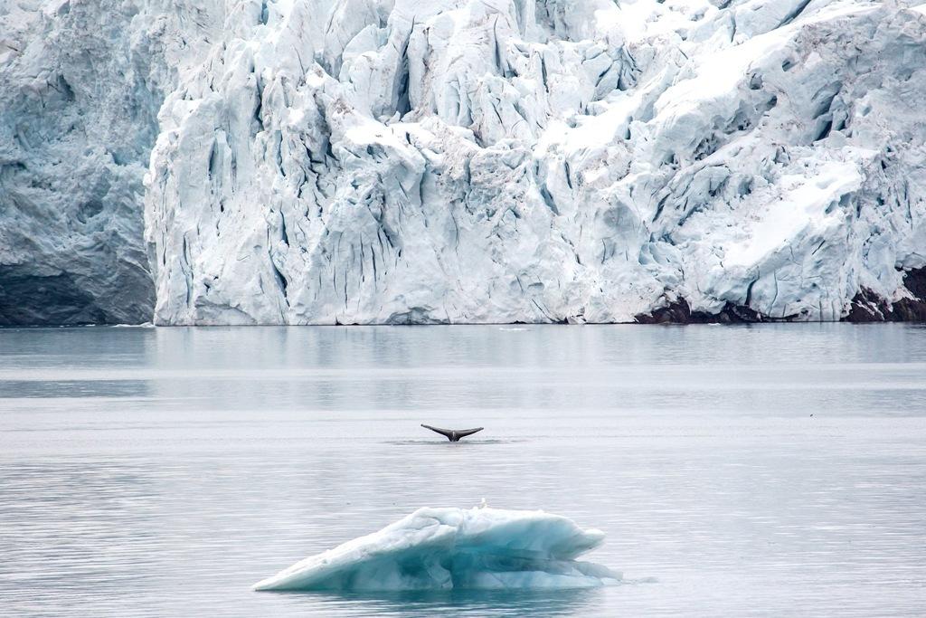 Whale fluke in Spitsbergen. Photo credit: Brian Myers