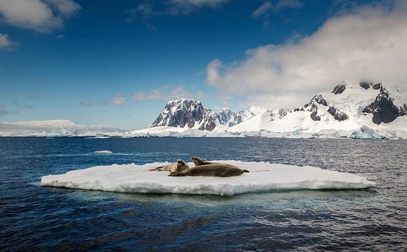 Leopard seals on ice