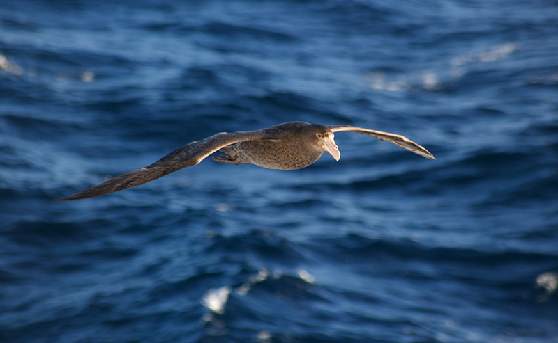 Southern Petrel over the drake passage