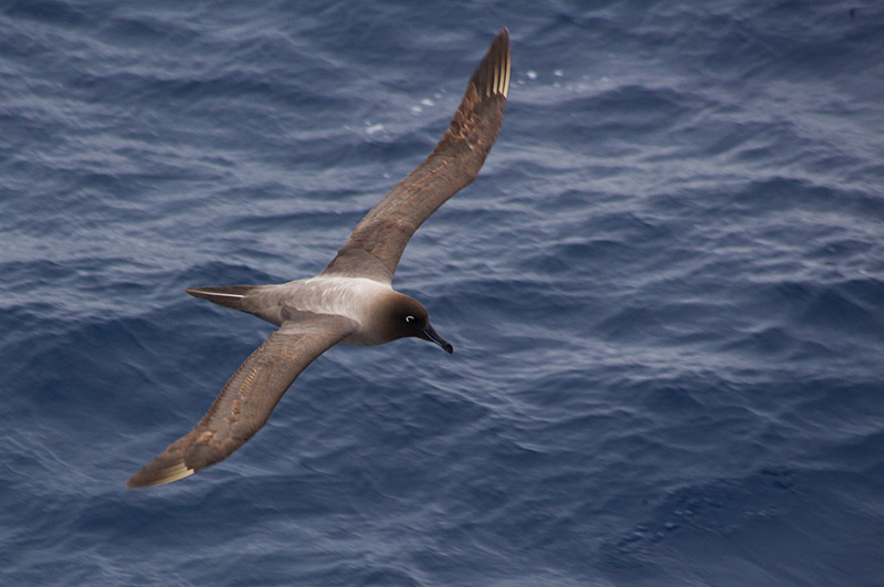Sooty albatross over the Drake passage
