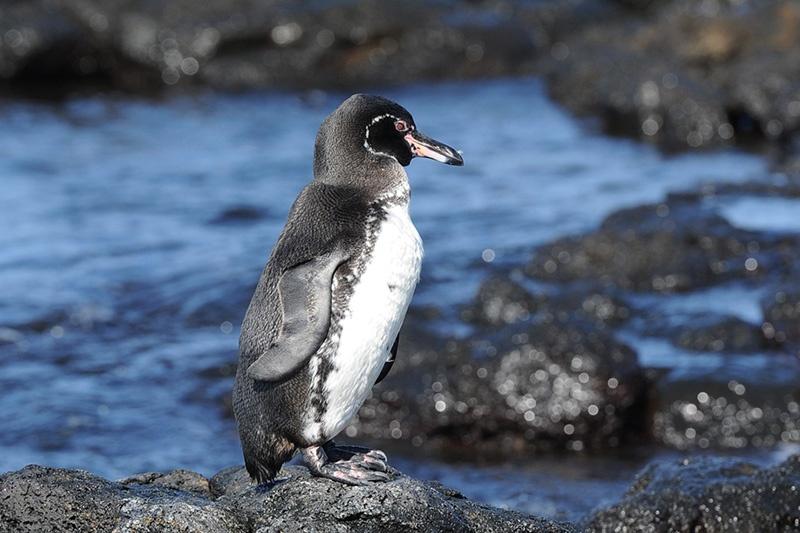 galapagos-penguin-2.jpg