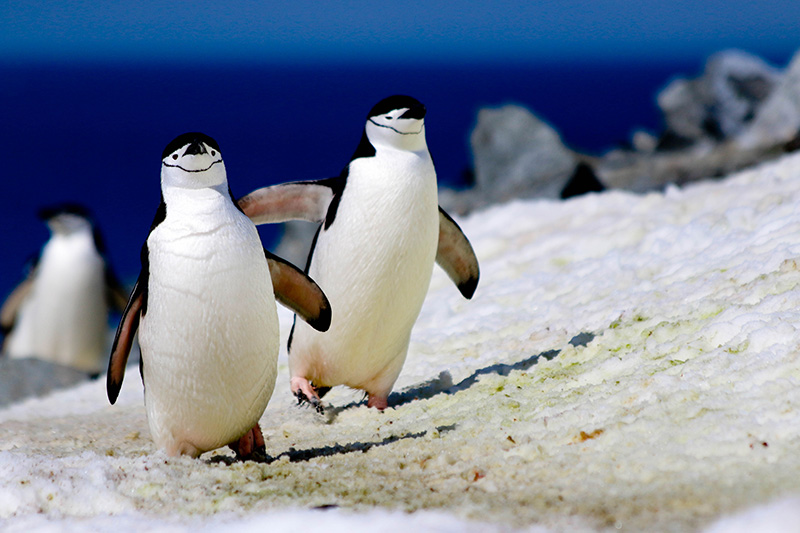 Chinstrap penguins at Half Moon Island