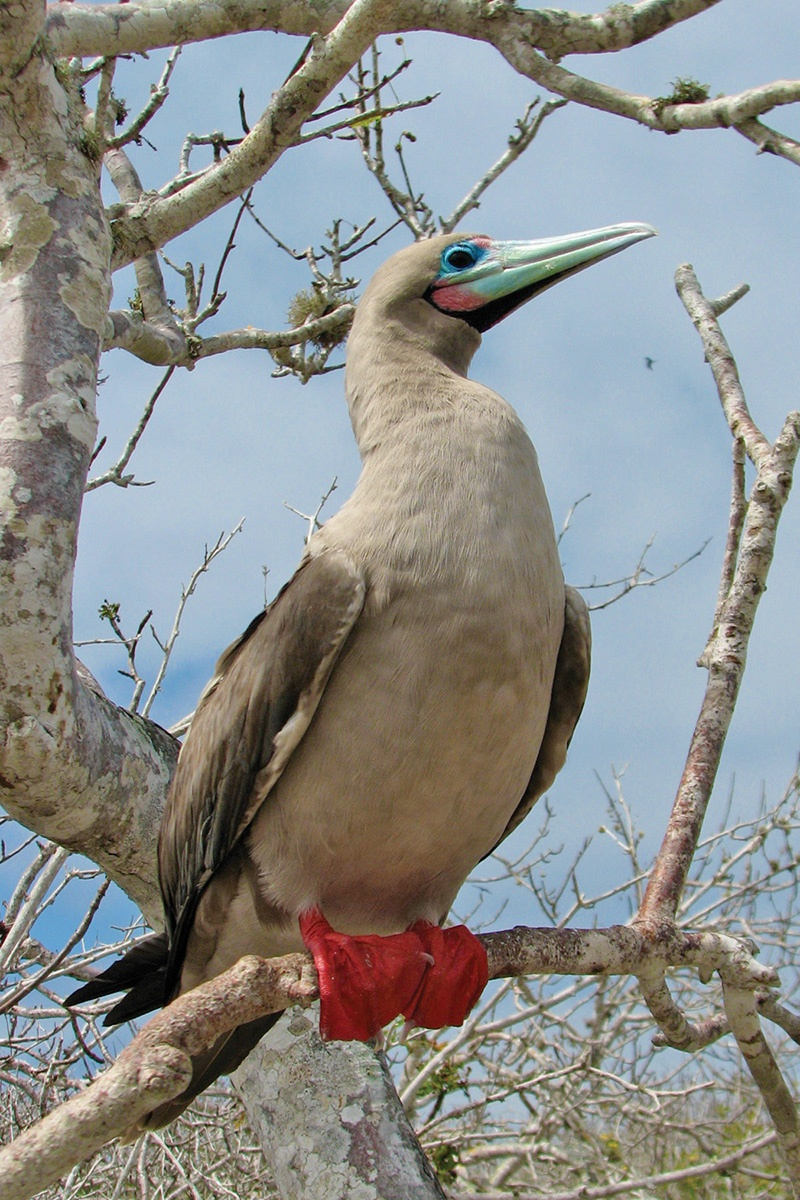 red-footed_booby.jpg