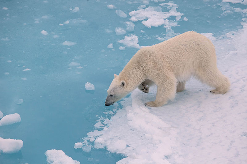 Polar bears rely on sea ice to move around the Arctic, hunting for seals.