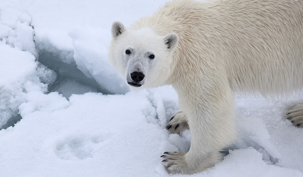 Photographing polar bears in their natural environment is the thrill of a lifetime for wildlife lovers.