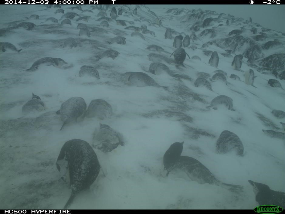 Penguins have returned! Pairs lie side by side in the snow until the first egg is laid.